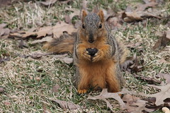 Squirrels In Ann Arbor at the University of Michigan (March 16th, 2018) (cseeman) Tags: gobluesquirrels squirrels annarbor michigan animal campus universityofmichigan umsquirrels03152018 winter eating peanut marchumsquirrel snow