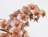 Vandaenopsis Kdares Orange Girl    [台南國際蘭展  Taiwan International Orchid Show] (阿橋花譜 KHQ Flower Guide) Tags: 蘭科 orchidaceae vandaenopsis