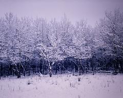 Winter Aspen - Rocky Mountain National Park (Christopher J May) Tags: rmnp rockymountainnationalpark trees snow aspen largeformat film 4x5 burkeandjames schneider150mmconvertiblesymmar colorado fujivelvia