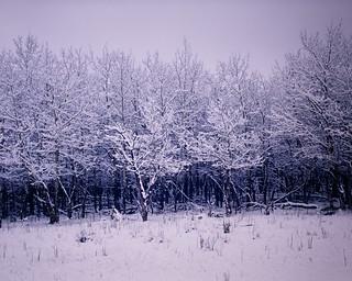 Winter Aspen - Rocky Mountain National Park