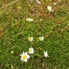Daisies (PhoebeZu) Tags: augustbreak2017 daisies flowers whiteflowers galway claddagh claddaghpark fiorellini