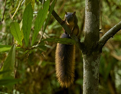 Squirrel (pbertner) Tags: rainforest amacayacu amazon squirrel mammal calanoa southamerica colombia