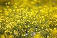 Wild Mustard (lennycarl08) Tags: pointreyesnationalseashore pointreyes mustard