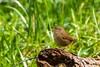 Troglodytes troglodytes (Ferruxe65) Tags: aves birds canoneos7d cotobade páxaros rioalmofrei tamron150600 nature naturaleza river rios
