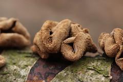 Encoelia furfuracea (Björn S...) Tags: haselkleiebecherling kleiigerbüschelbecherling kleiigerhaselbecherling mushroom pilz fungo champignon hongo encoeliafurfuracea