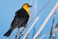 They're Back! (craig goettsch - back soon) Tags: yellowheadedblackbird bird avian nature wildlife nikon d500