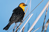 They're Back! (craig goettsch - back soon) Tags: yellowheadedblackbird bird avian nature wildlife nikon d500