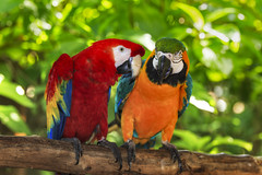 Perroquets, Costa Rica & Panama (Voyages Lambert) Tags: vibrantcolor endangeredspecies pets animalsfeeding photography beautyinnature harlequin aviary colorimage cute scarletmacaw goldandbluemacaw animalwing exoticism multicolored red orangecolor blue tropicalclimate wildlife nature outdoors closeup macao costarica tree beak feather perching animalsinthewild macaw parrot bird animal tropicalrainforest bluecolor horozontal horizontalcomposition