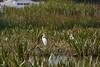 Great Egrets (blachswan) Tags: ballarat victoria australia lakewendouree greategrets ardeaalba reeds