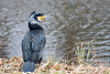 Cormorant (ThomasMaribo) Tags: cormorant aves aquatic lake bird nature feather feathers chordata phalacrocoracidae phalacrocorax skarv