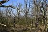 Tote Bäume im Südermoor; Norderstapel, Stapelholm (11) (Chironius) Tags: stapelholm schleswigholstein deutschland germany allemagne alemania germania германия niemcy norderstapel moor sumpf marsh peat bog sump bottoms swamp pantano turbera marais tourbière marécageuse baum bäume tree trees arbre дерево árbol arbres деревья árboles albero árvore ağaç boom träd südermoor holz wood legno madera bois hout