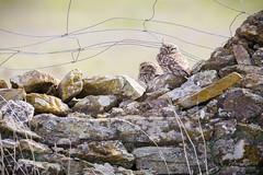 Paire de Chevêche (Fabien Serres) Tags: athenenoctua chevêchedathéna littleowl oiseau strigidés strigiformes bird espagne extremadura estrémadure