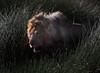 """Ghost in the Darkness"" (ashockenberry) Tags: nature naturephotography wildlife wildlifephotography wild wilderness ashleyhockenberryphotography safari savanna lion predator carnivore reeds grassland cat feline game reserve africa tanzania canon habitat natural"