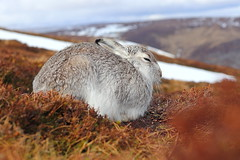 Sitting tight (blootoonloon1( No to Badger Cull)) Tags: close mountain hare spring wildlife animal nature colours colors heather sitting snow highlands scotland