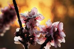 Peach Paradise (dorameulman) Tags: dorameulman macro sigma105mmf28exdgmacroos peach sunset spring spring2018 haiku canon canon7dmark11 inmybackyard northcarolina