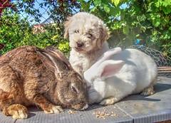 Baby Zsömle (Torok_Bea) Tags: pulidogs hungarianpuli dogs dog bunny cute húsvét cuki imádom babydogs animals nyuszi kellemeshúsvétot happyeaster rabbit