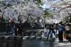 cherry tree watching (Hideki Iba) Tags: cherry tree water blossom cherrytree nikon d850 nikond850 park 日本 兵庫 西宮 夙川 桜 川 ニコン 花見 さくら sakura nishinomiya shukugawa hyogo japan hanami nature urban city people