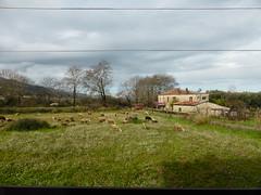 Sheep!!   P1040198 (amalia_mar) Tags: animals fauna meadow village green sky clouds 7dwf sheep γαβαλού αιτωλοακαρνανία ελλάδα sundaylights
