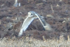 Short-eared Owl (smkeereweer) Tags: shortearedowl asioflammeus novascotia canada
