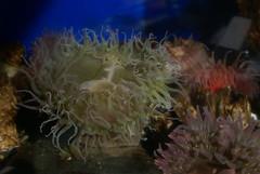DSC08872 (washuugenius) Tags: photo pointdefiancezooaquarium aquarium seaanemone