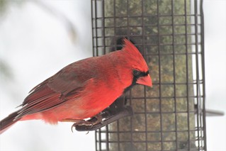 Mr Cardinal up close