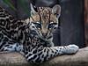 Yeux... (carlo612001) Tags: ocelot cat cats gatto gatti felini felines feline occhi eyes yeux