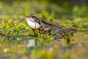 Backyard frog (Leo Kramp) Tags: 2018 flickr frog tuin achtertuin backyard kikker jancampertlaan waddinxveen zuidholland nederland nl