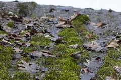 Foraging (pchgorman) Tags: governordodgestatepark iowacounty wisconsin regulussatrapa taxonomy:binomial=regulussatrapa goldencrownedkinglet animals birds regulidae april