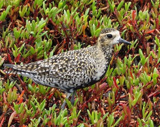 Just Trying to Blend In       Pacific Golden Plover