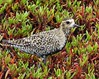 Just Trying to Blend In       Pacific Golden Plover (hendricksms) Tags: wildliferefuge maui hawaii pacificgoldenplover plover bird