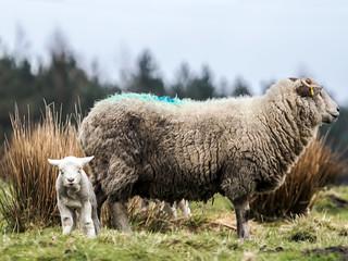 Saddleworth Spring Lambs