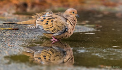 Mourning Dove (bbatley) Tags: dove