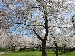 20180412_141547 (d1pinklady) Tags: cherryblossoms cherry blossoms wdc washington dc trees flowers monuments memorial japanese pink puple white water rocks branches capitol