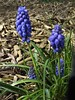Grape Hyacinth (BriarCraft) Tags: flower grapehyacinth hyacinth