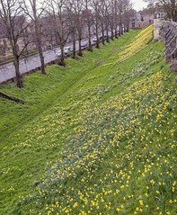 York: A view from the city walls. (jack cousin) Tags: nikond610 on1photos york uk yorkshire england wall walls historic history ancientwalls landscape landmark medieval architecture heritage parapet city perspective vanishingpoint tree bare bough twigs grass daffodil daffodils hostofdaffodils narcissus yellow flower bulb bloom leaf petal spring seasonal season sky bluesky clearsky cloud outdoor nature bank embankment slope incline stone stonework stoneblocks path avenue