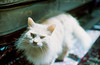17th Century Meow [Part Two] (katizabitwhite) Tags: analog analogue 35mm 35mmfilm film filmphotography cat cats meow fuzzy fluffy fluff sunlight yashica portra portra400 kodak feline kitty kitten