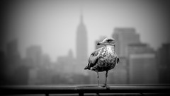 I'm a New Yorker living on the Liberty Island... (Ula P) Tags: seagull nyc libertyisland empirestatebuilding blackwhite monochrome sony