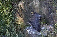 Peregrine Falcon (f).(good ole stretch). (Explored). (spw6156 - Over 6,404,003 Views) Tags: peregrine falcon fgood ole stretch cropped copyright steve waterhouse explored