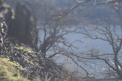 The Labyrinth (Tony Pulokas) Tags: washington columbiagorge thelabyrinth columbiarivergorge coyotewall catherinecreek tree oak oregonoak rock basalt tilt blur bokeh river columbiariver grass moss lichen