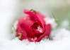 Snow White and Rose Red for macro mondays 'once upon a time' (Emma Varley) Tags: snow rose white snowwhiteandrosered brothersgrimm fairytale traditionaltale folktale story children reading book macromondays onceuponatime red