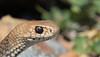 eastern brown snake (Pseudonaja textilis)-2672 (rawshorty) Tags: rawshorty australia act jerrabomberrawetlands