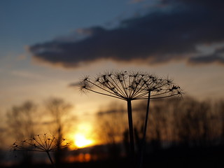 Verblühtes im Sonnenuntergang