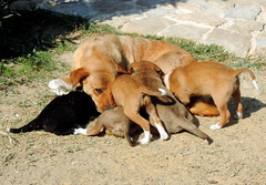 Motherhood (Khaled M. K. HEGAZY) Tags: nikon coolpix p520 fayoum tunisvillage sobeklodge nature outdoor closeup animal dog puppies green yellow brown white orange black
