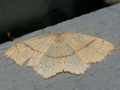 Cyclophora punctaria - Maiden's blush - Кольчатая пяденица точечная (Cossus) Tags: cyclophora geometridae sterrhinae пестово пяденица 2009