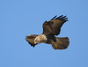 Common Buzzard hanging in the wind over Watership Down, Hampshire. (dugwin2) Tags: common buzzard looking for prey while hovering over watership down hampshire watch out fiver