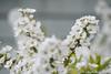 (takafumionodera) Tags: flower fujisawa japan pentax q7 spiraeathunbergii ユキヤナギ 花 藤沢
