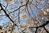 IMG_5864 (digitalbear) Tags: canon eos6d sigma 14mm f18 dg art shinjku gyoen sakura cherry blossom blooming hanami tokyo japan
