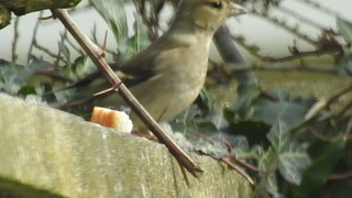 Chaffinch bread thief alert