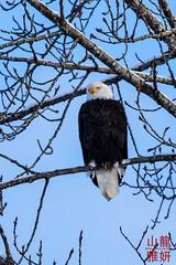 Bald Eagle (Haleaeetus leucocephalus) (DragonSpeed) Tags: baldeagle brackendale britishcolumbia haliaeetusleucocephalus squamish bird winter canada ca