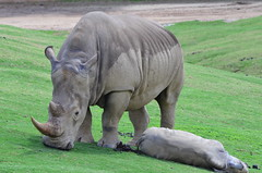 DSC_5493 (Andrew Nakamura) Tags: animal mammal rhino rhinoceros whiterhino southernwhiterhinoceros lyingdown sandiegozoosafaripark safaripark escondido rhinocalf mothercalf